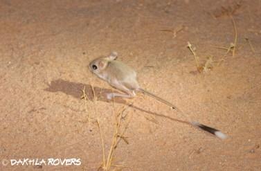 Dakhla Rovers: Lesser Egyptian Jerboa, Jaculus jaculus, #DakhlaNature @iNaturalist