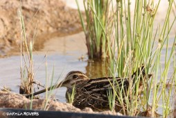 #DakhlaRovers #CommonSnipe
