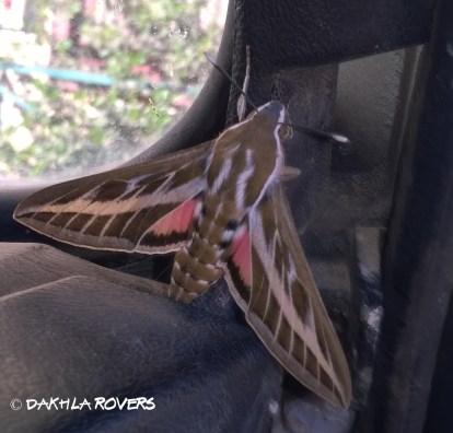 Dakhla Rovers: Striped Hawk-Moth, Hyles livornica, #Dakhla Nature @iNaturalist