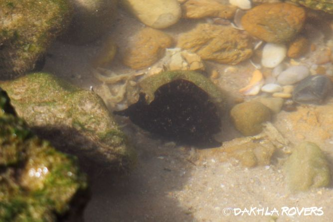 Dakhla Rovers: Sea Hare, genus Aplysia, #DakhlaNature @iNaturalist