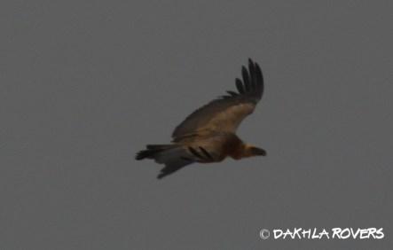 Dakhla Rovers: Griffon Vulture, Gyps fulvus, #DakhlaNature @iNaturalist