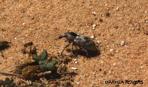 Dakhla Rovers: Long-snouted beetles, Ceutorhynchinae, #DakhlaNature @iNaturalist