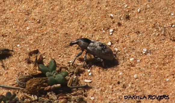Dakhla Rovers: Long-snouted beetles, Ceutorhynchinae, #DakhlaNature @iNaturalist