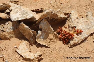 Dakhla Rovers: Mesembryanthemum spp. #DakhlaNature @iNaturalist