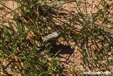 Dakhla Rovers: African Green Toad, Bufotes boulengeri #DakhlaNature @iNaturalist