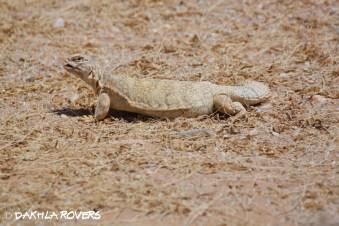 Dakhla Rovers: Sudan Mastigure, Uromastyx dispar (white morph), #DakhlaNature @iNaturalist
