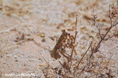 Dakhla Rovers: Desert locust, Schistocerca gregaria, #DakhlaNature @iNaturalist