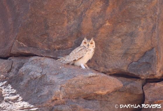 birdwatching #DakhlaRovers #Pharaoh Eagle-owl