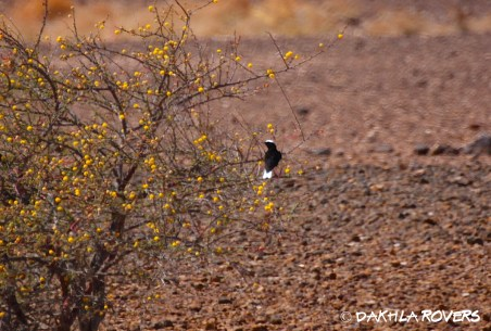 Dakhla Rovers: White-tailed Wheatear, Oenanthe leucopyga, #DakhlaNature @iNaturalist
