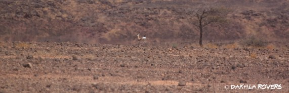 Dakhla Rovers: Dorcas Gazelle, Gazella dorcas, #DakhlaNature @iNaturalist