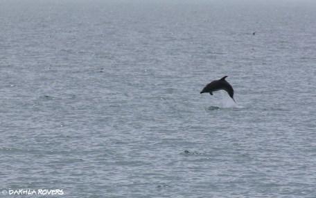 #DakhlaRovers #CommonBottlenoseDolphin Imlili & coast