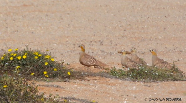 #DakhlaRovers #CrownedSandgrouse
