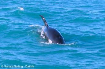 courtesy Sahara Sailing: Orca, Orcinus orca, #DakhlaNature @iNaturalist