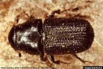 Mountain pine beetle—photo from USDA Forest Service.
