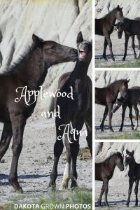 ou may remember when I first shared these two that colt Applewood, out of Stormy, was a little troublemaker when it came to his sisters.