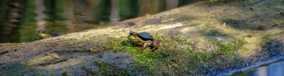 Wordless Wednesday: Frogs on Logs