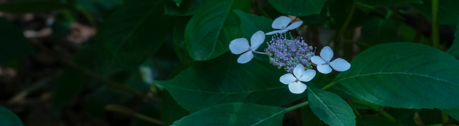 Bluebird Hydrangeas from my garden