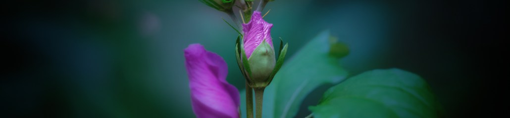 Rose of Sharon: Three Views