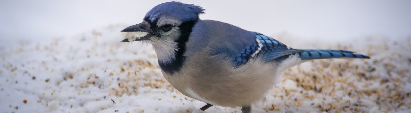 Wordless Wednesday: A Band of Blue Jays on a Bench, in the Winter, in New York