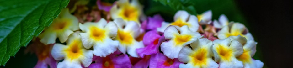 Found Flowers (Set 2 of 3): Luscious Lantana