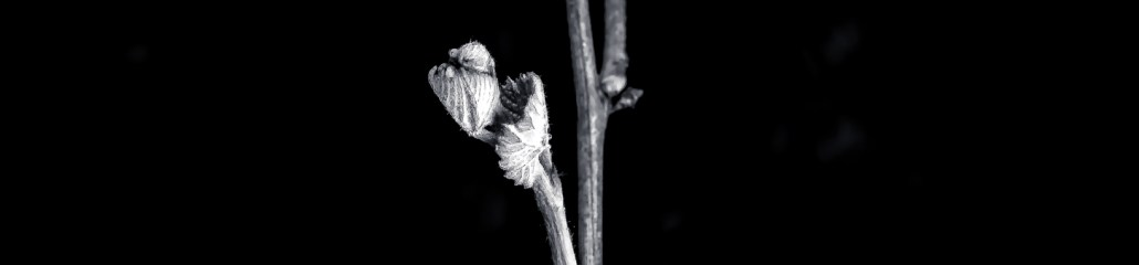 Catawba Grapevine, Early Spring, in Black and White
