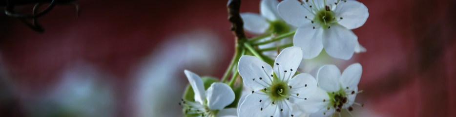 Wordless Wednesday: Bradford Pear, Blooming
