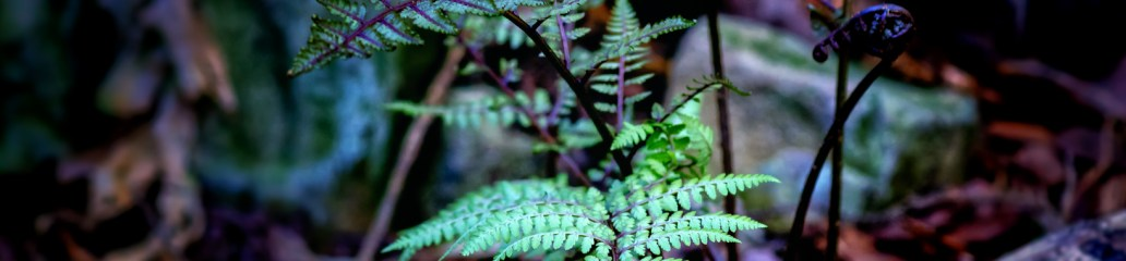 Wordless Wednesday: Japanese Painted Ferns Spring Debut