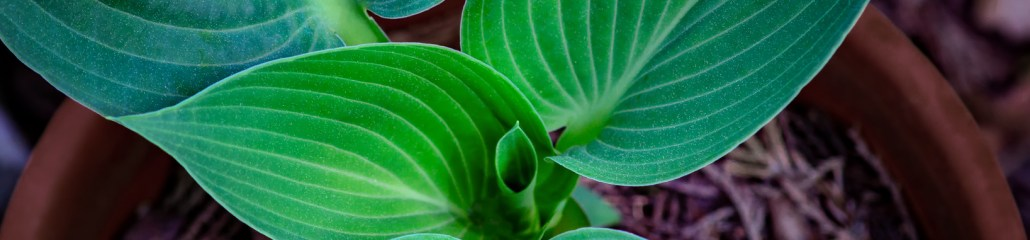 Hosta Shapes and Colors (Set 1 of 4)