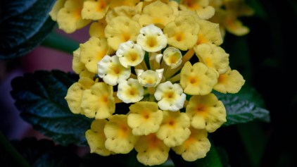 Chapel Hill Yellow Lantana