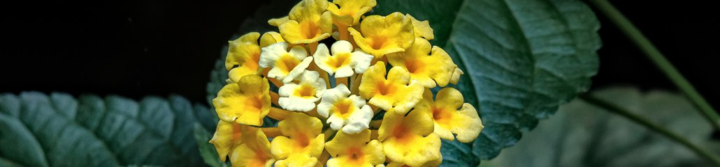 Chapel Hill Yellow Lantana: Gallery 4 of 4