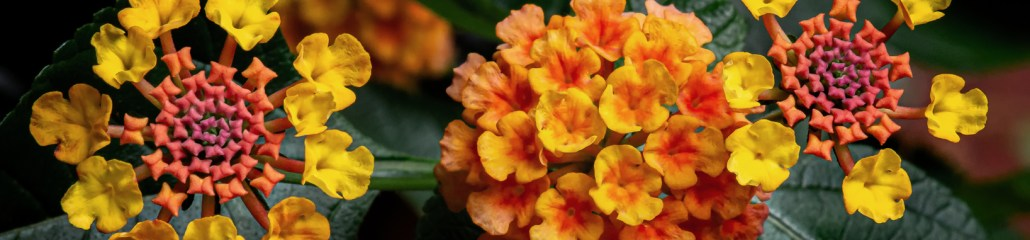 Making Pictures: Landmark Citrus Lantana (Gallery 3 of 3)