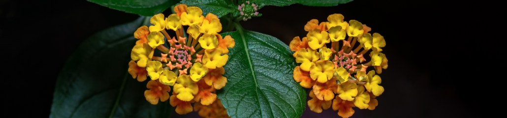 Making Pictures: Landmark Citrus Lantana (Gallery 2 of 3)