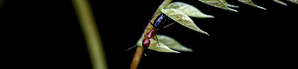 The Red and the Black, and the Red-and-Black Ant