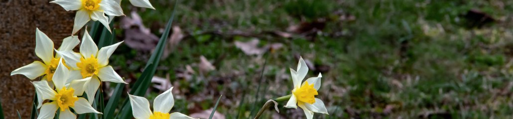 Spring 2020: March is for Daffodils (1 of 4)