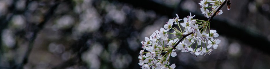 Inside Looking Out: Bradford Pear Blooming in the Rain