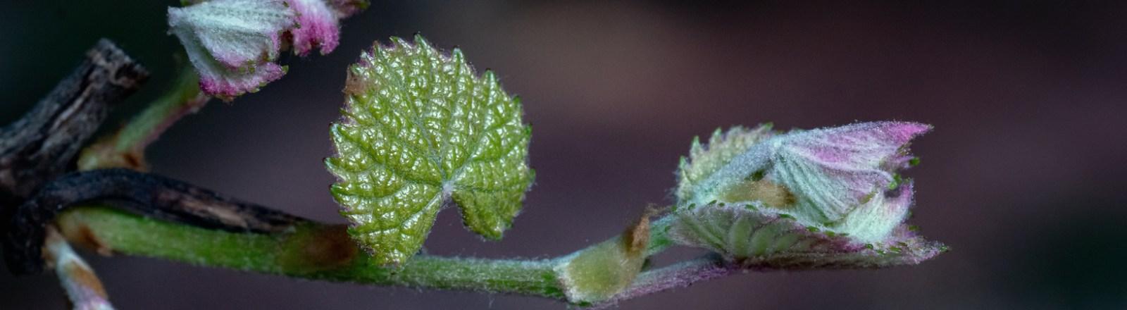 Spring 2020: April Colors 2 (Catawba Grapevine)