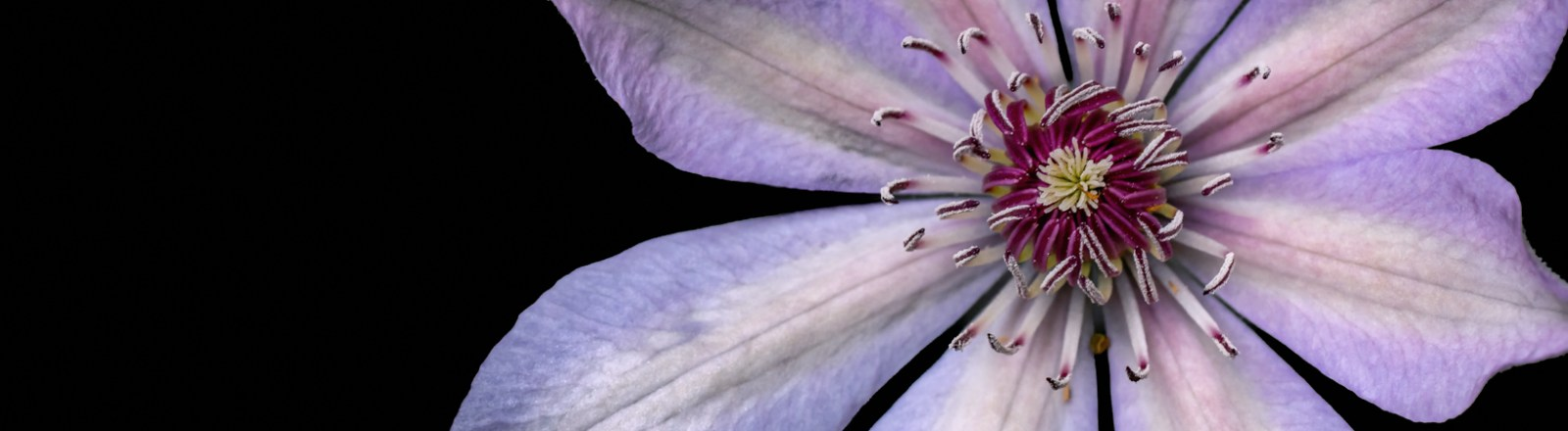 Spring 2020: April Colors 7 (Clematis in Bloom, 3 of 3)