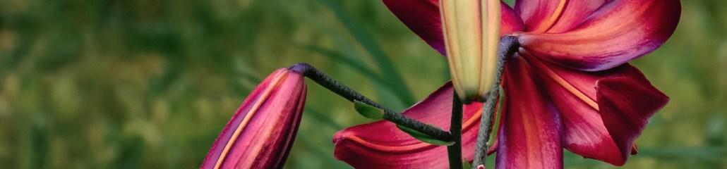 Summer 2020: Lily Variations (6 of 10)