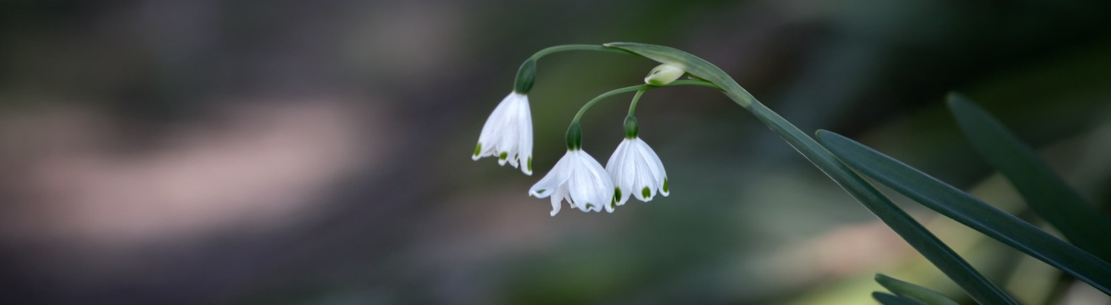 Snowdrops and Snowflakes, Daffodils and Tulip Leaves