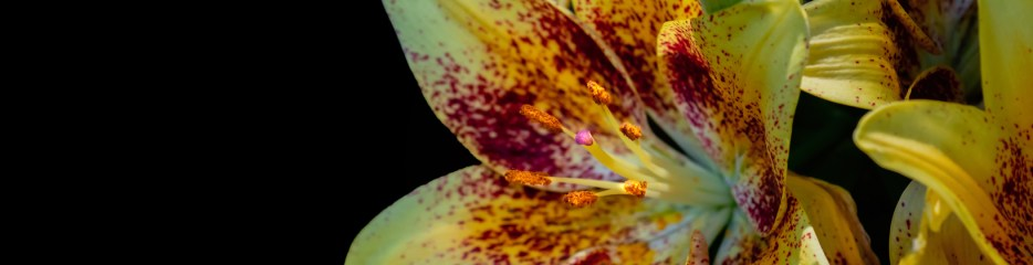 Epic Lilies (3 of 3)
