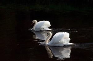 K Club swans