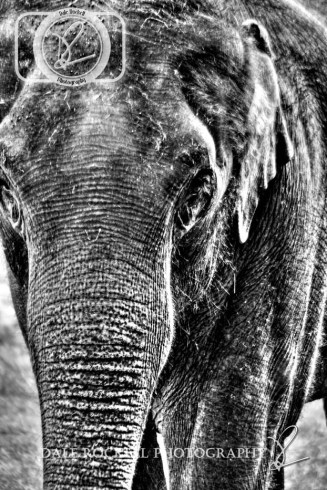 ZSL Whipsnade_IMG_7016_29-06-14_HDR_B&W