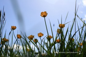 Buttercups_16-05-15_IMG_4377