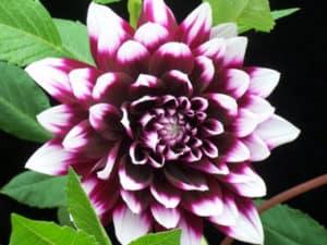 dalias-flower2