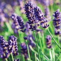 lavender-flower sidebar