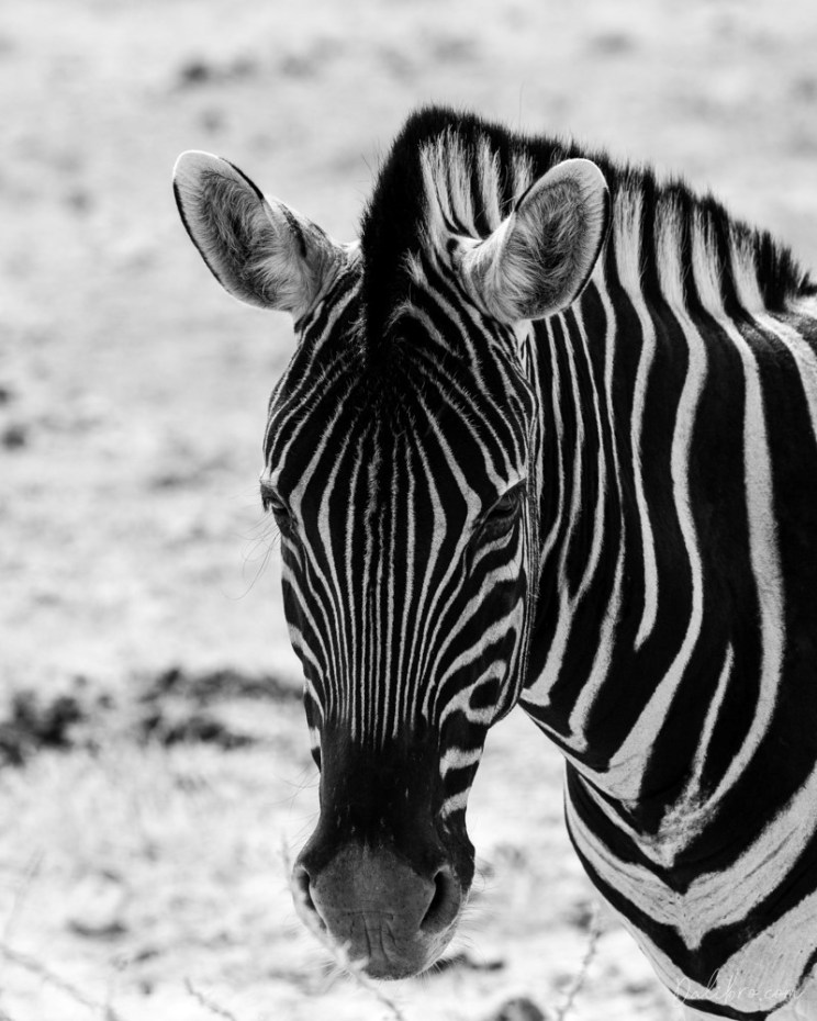 Expect animals as soon as you get behind one of Etosha's gates - zebras, warthogs, giraffes, they all come to say hello.