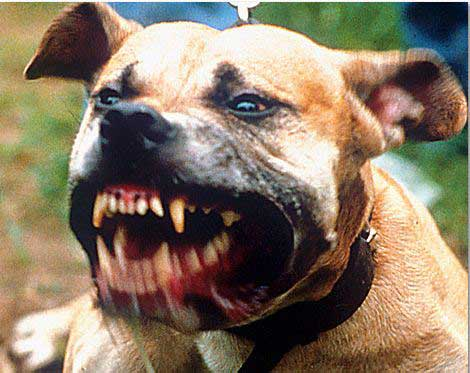 Aggressive dog baring its teeth. Dog bite lawyer.