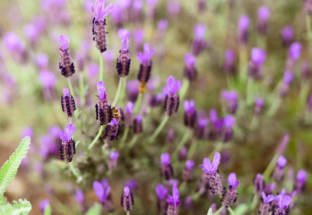 Lavender-Ridge-Farms-Texas-Road-Trip-Outside-Suburbia-Plano-Magazine-7