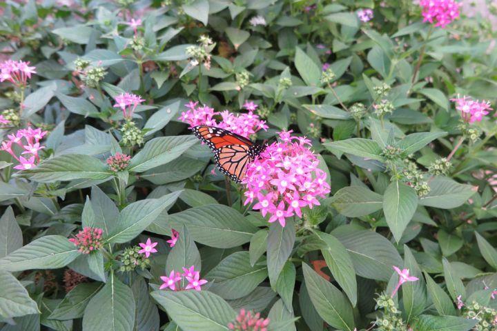 pentas_lanceolata_pink_monarch_upclose_sm__full-width__full-width