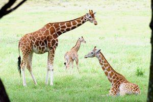 giraffe-thumb-300x200
